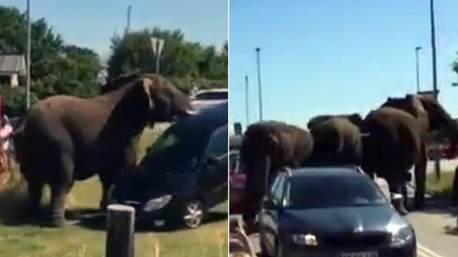 Ausgebrochene Dickhäuter: Dänische Zirkuselefanten sorgen für Chaos