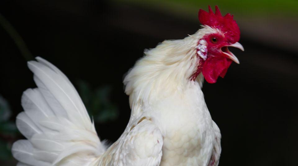 """Zeit umaufzustehen: Der ranghöchste Hahn darf als Erster das morgendliche """"Kikeriki!"""" in die Luft schmettern."""