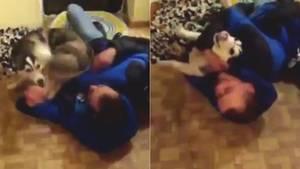 Husky freut sich übermäßig