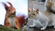 Ein rotbraunes Eichhörnchen und ein Grauhörnchen