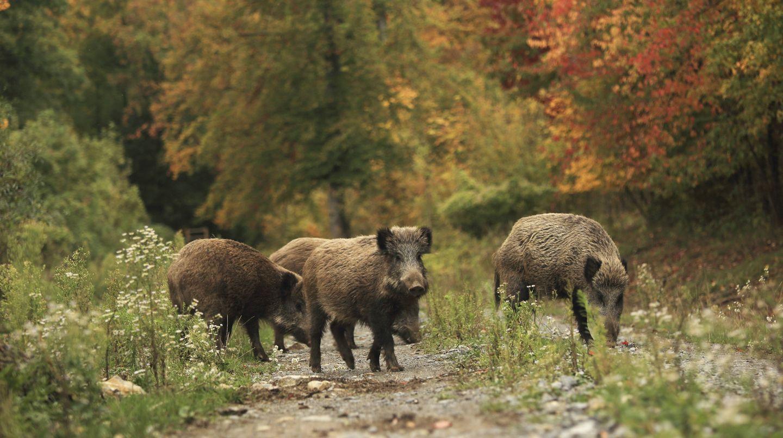 Eine Rotte Wildschweine