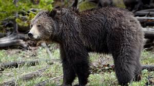 Grizzlybär im Yellowstone Nationalpark
