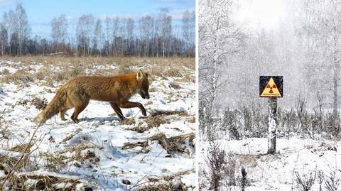 Nach Atom-Gau: Tschernobyl  - Die Tiere übernehmen, sobald der Mensch verschwindet