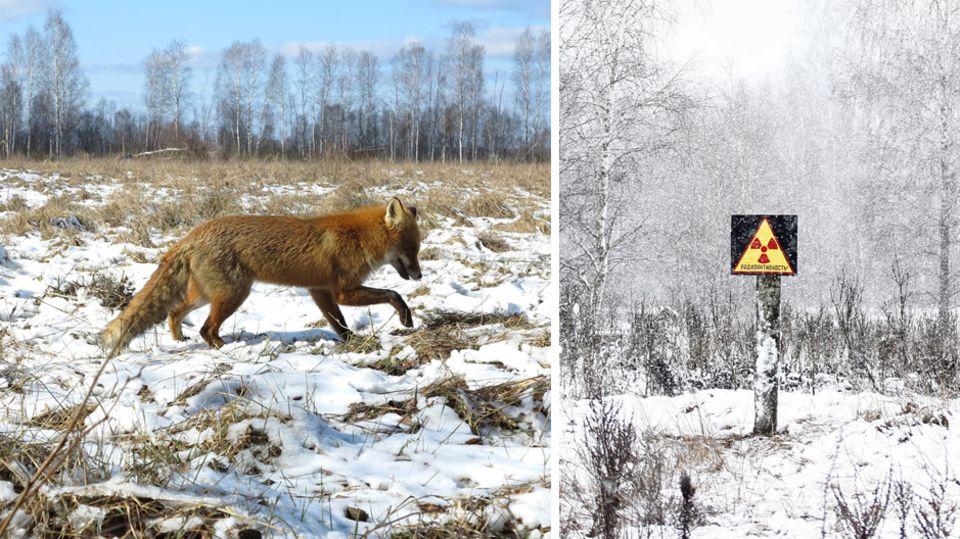 30 Jahre nach Atom-Gau: Wie Tschernobyl zum Tier-Paradies wurde
