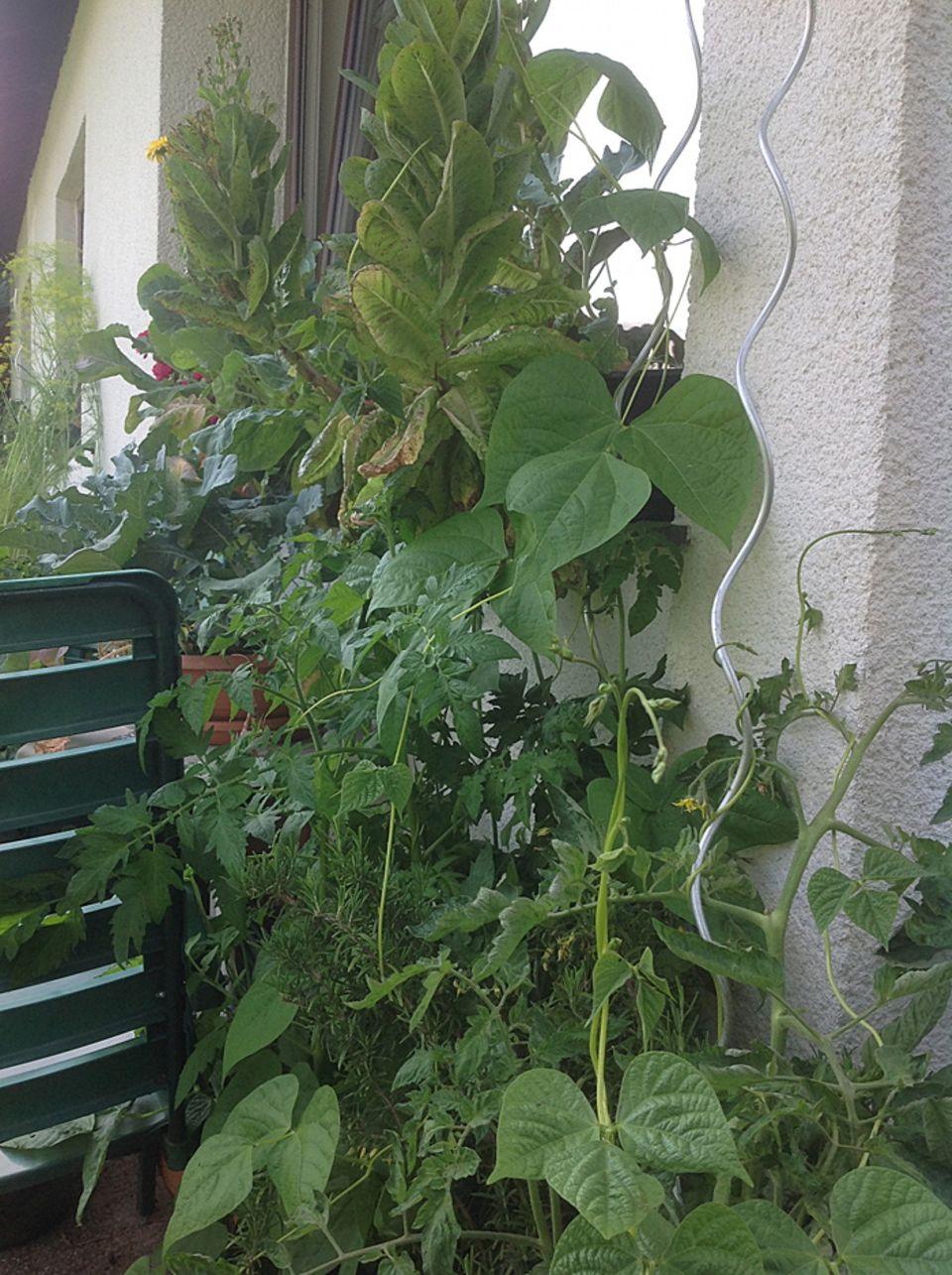 Gutes aus dem Küchengarten: Auch Stangenbohnen in Kombination mit Tomaten.