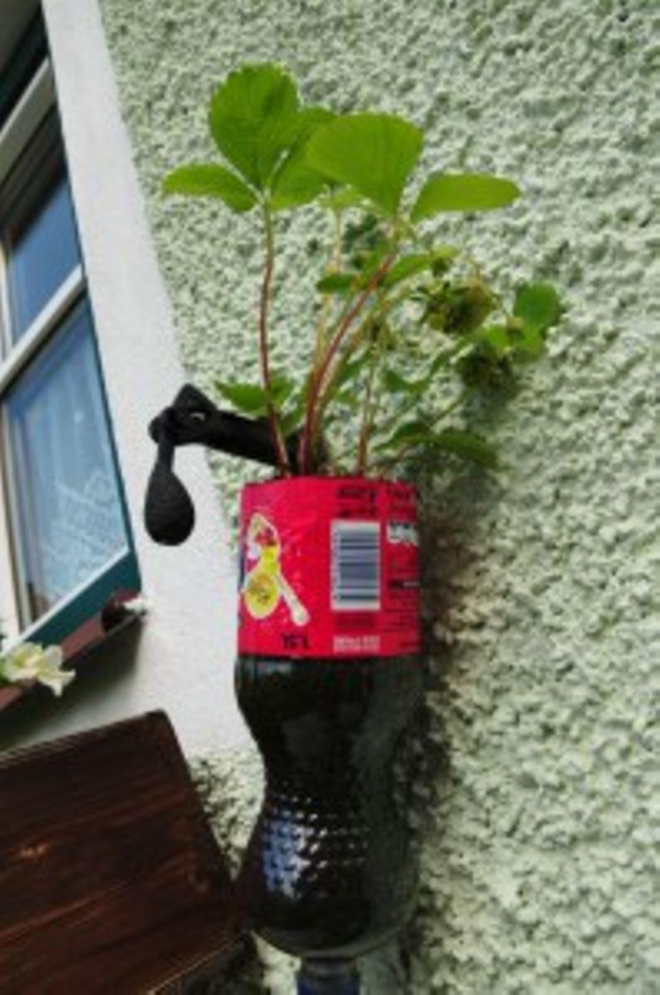 Gutes aus dem Küchengarten: Versuch, Erdbeeren in Plastikflaschen zu ziehen. Sie wurden an die Seiten der Fenster gehängt.