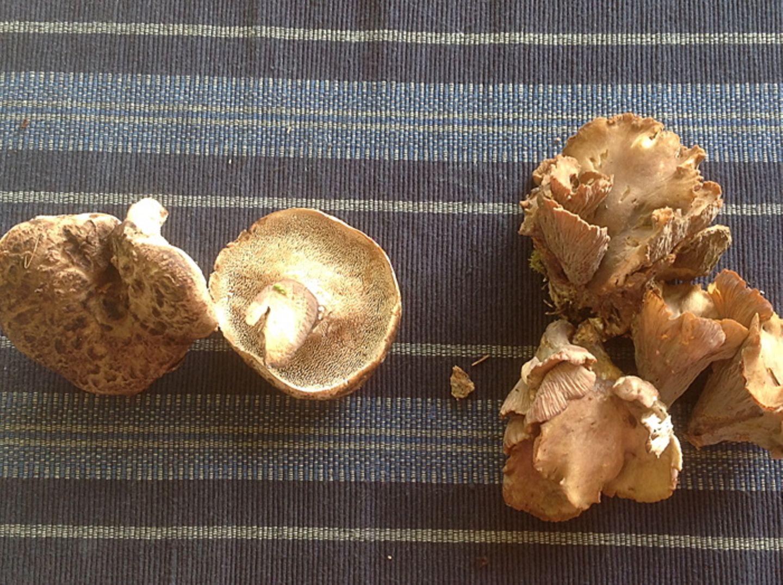 Gutes aus dem Küchengarten: Wie verstrahlt sind unsere Pilze?