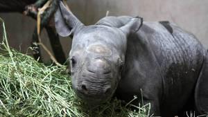 """Nashornbaby """"Makibo"""" im Magdeburger Zoo wenige Tage nach seiner Geburt."""