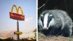 Schwede trägt toten Dachs zu McDonald's