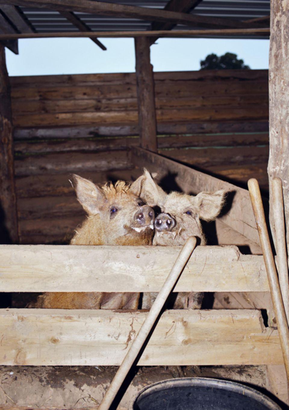 Politik: Die Wollschweine leben auch auf dem Schwalbenhof.