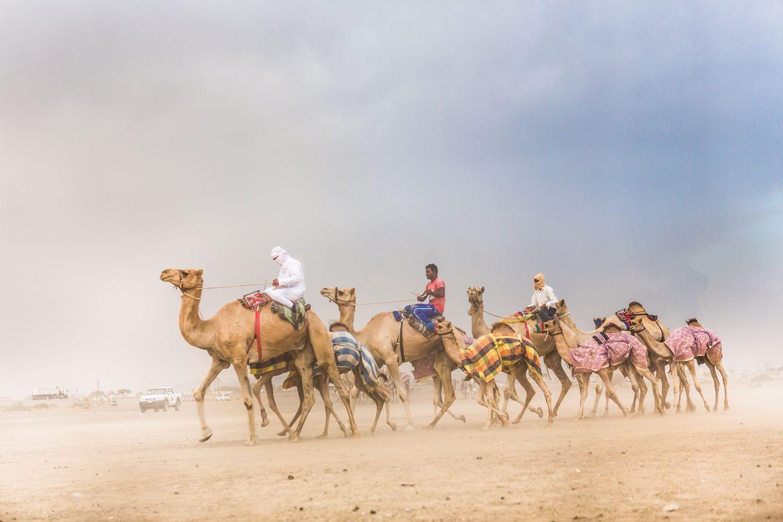 In der Stadt Al-Ain in Abu Dhabi werden Rennkamele trainiert