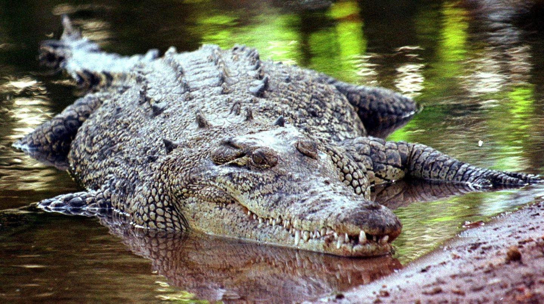 In Tunis wurde ein Krokodil von Zoo-Besuchern getötet (Symbolfoto)