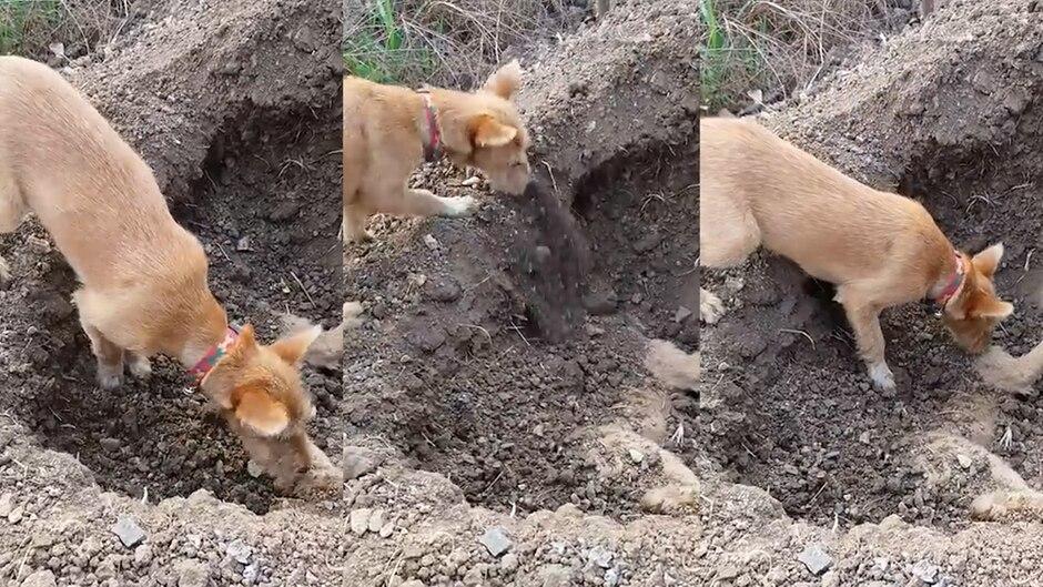 Berührende Szene aus Thailand: Dieser Straßenhund beerdigt seinen überfahrenen Bruder