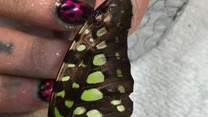Nagellack mit Schmetterling