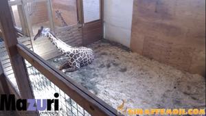 Der Livestream einer schwangeren Giraffe in New York