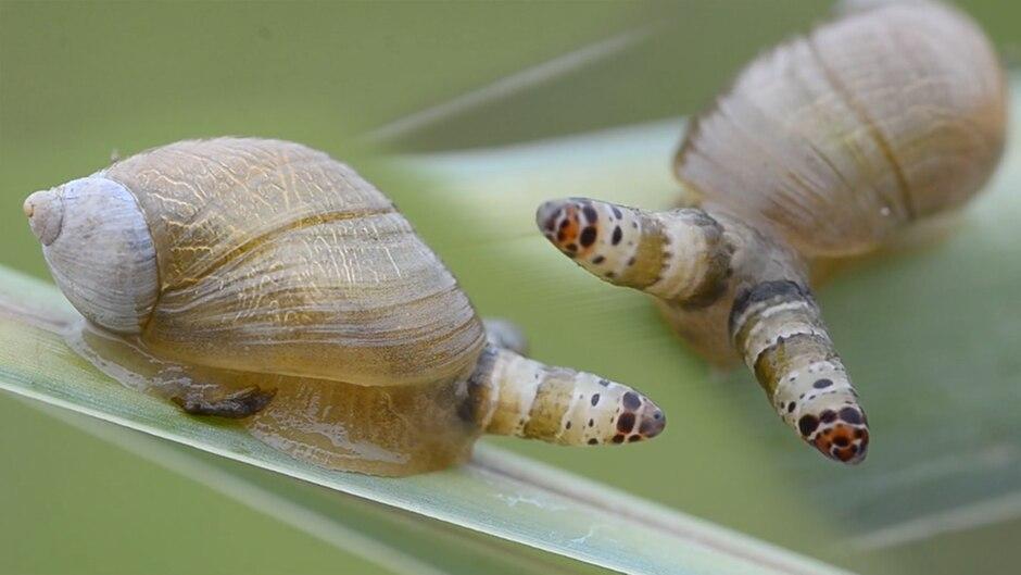 Kreislauf des Schreckens: Parasit zwingt Schnecke zu tödlichem Verhalten