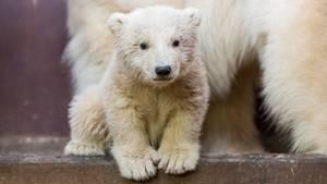 Das Berliner Eisbär-Baby Fritz schaut in die Kamera - Das Junge ist erkrankt