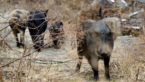 Ein Rudel Wildschweine im Sperrgebiet rund um Fukushima
