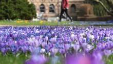Wetter: Bei frühlingshaften Temperaturen blühen im Botanischen Garten Karlsruhe bereits Krokusse und Blausterne.