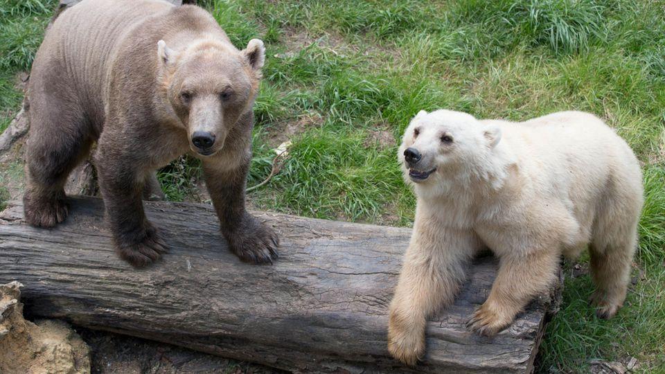 Bärendame Tips (hell) mit ihrem Bruder, dem braunen Taps.Tips hatte es auf noch unbekannte Weise geschafft, die Bärenanlage zu verlassen. Noch bevor die Polizei kam, wurde das Tier erschossen.