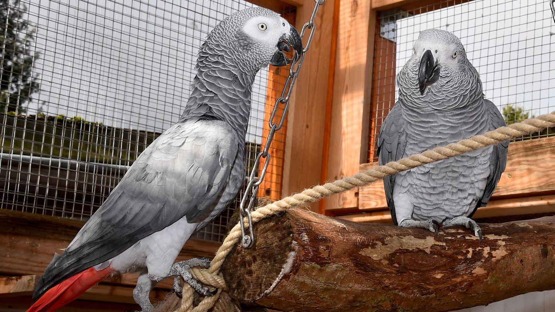 Der Graupapagei Rocco (r) mit seiner neuen Partnerin Rosa