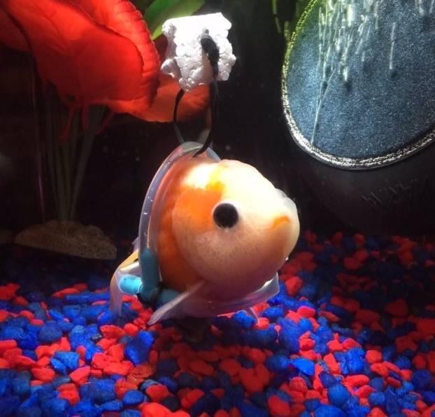 Diesem kleinen Fisch wurde ein Unterwasser-Rollstuhl gebaut