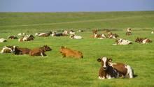 Eine Gruppe Holsteiner Kühe aus den Niederlanden wird aus der Türkei zurückgeschickt (Symbolbild)