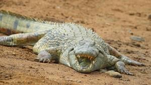 Im Bauch des Krokodils haben die Dorfbewohner das tote Kind gefunden (Symboldbild)