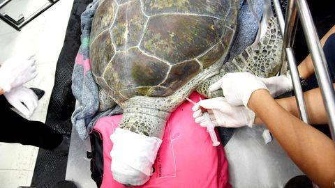 Mit verbundenem Kopf liegt Meeresschildkröte Omsin auf dem OP-Tisch einer Tierklinik in Bangkok