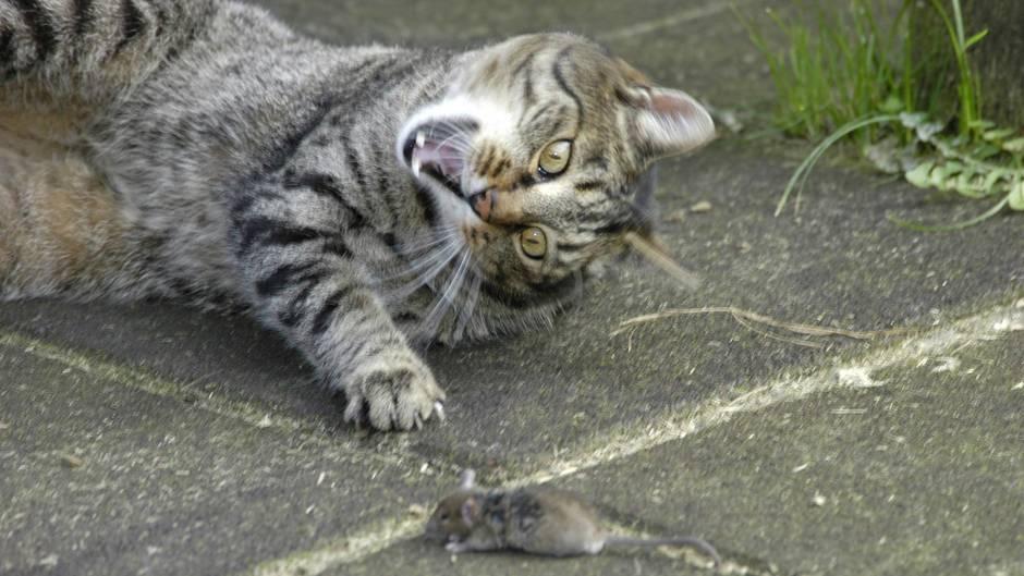 Eine Katze, die eine kleine wehrlose Maus angreift
