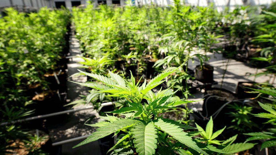 Eine Marihuana-Plantage in Minnesota. Will die Regierung von Donald Trump das Rad zurückdrehen?