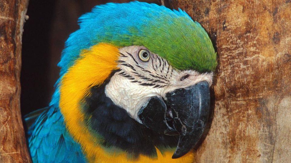 Sie sehen so niedlich aus. Doch für die Bauern in Indien sind Papageie derzeit ein riesengroßes Problem. (Symbolfoto)