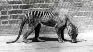 Tasmanischer Tiger Beutelwolf