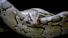 In Indonesien hat eine Python einen Erntearbeiter verschlungen
