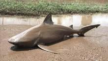 Ayr, Australien. Ein heftiger Zyklon hat über Teilen von Queensland gewütet. Ein Opfer des Sturms ist dieser Bullenhai, der aus seiner natürlichen Umgebung an Land befördert wurde.