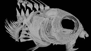 Säbelzahnschleimfische