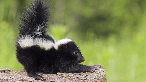 Stinktiere und andere Wildtiere sind für die Privathaltung nicht geeignet