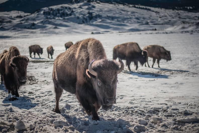 Bis zu 900 Kilo schwer, 1,80 Meter hoch und trotzdem bis zu 55 km/h schnell: Es leben und weiden heute wieder über 5000 Büffel, lateinisch Bison bison, im Yellowstone-Nationalpark.
