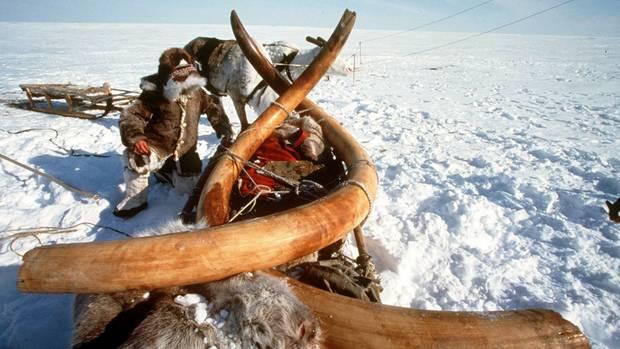 Das Bild zeigt den Abtransport von Mammut-Stoßzähnen in Sibirien