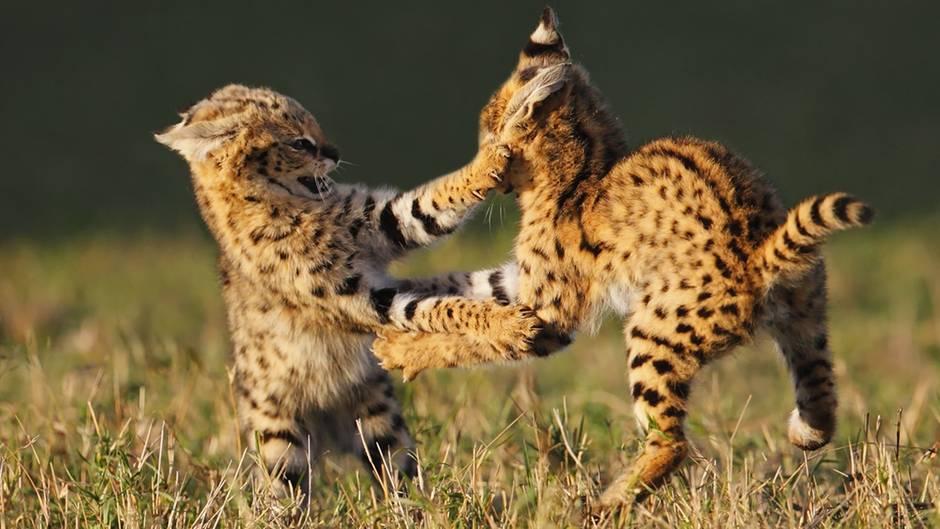 """Servalkatzen beim Spielen: """"Die Mutter dieser beiden Jungtiere war bei der Jagd und glücklicherweise trauten sich die beiden am späten Nachmittag aus dem Bau. Es war sehr spannend die Zwei zu beobachten, da sie neben dem spielerischen Kampf auch an ihren Jagdfertigkeiten übten."""""""