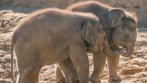 Junge Elefanten im Zoo Hannover