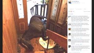 Australien: Das Pferd Tilly im Treppenhaus ihrer Retter