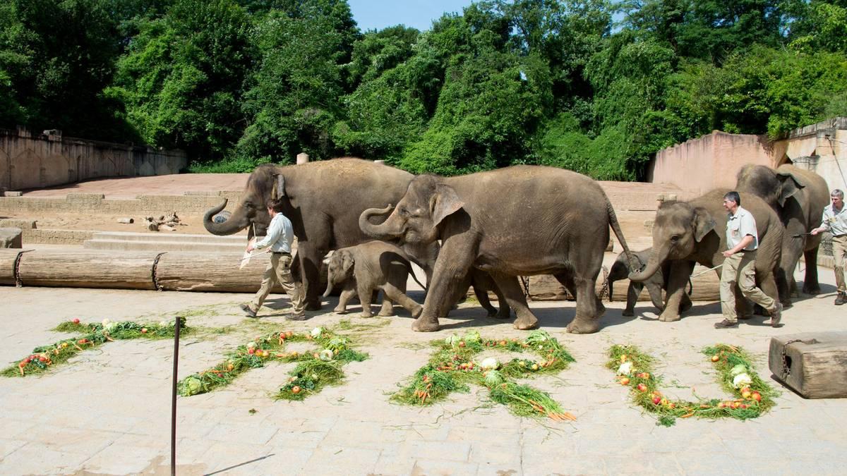 zoo hannover will aufnahmen von angeblicher elefanten qu lerei pr fen. Black Bedroom Furniture Sets. Home Design Ideas