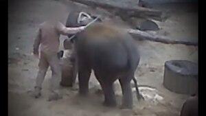 Die heimlich erstellten Videos zeigen, wie Pfleger junge Elefanten mit der Metallspitze des Elefantenhakens mehrfach traktieren