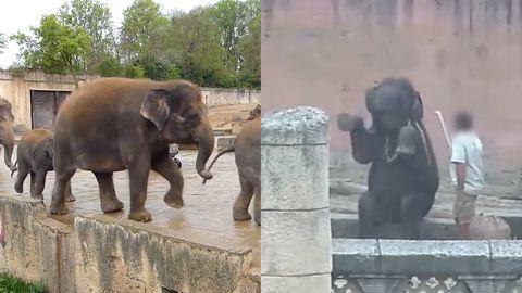 Hannover: Elefanten-Quälerei? Zoo will Aufnahmen prüfen