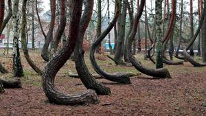 Crooked Forest in Polen