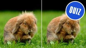 Zwei Hasen mit Bildstörer auf dem Quiz steht