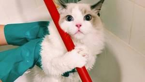 Eine Hauskatze guckt ganz verschreckt, während ihr Besitzer sie putzt