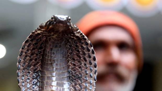 Die Kobra eines Schlangenbeschwörers in Indien hat einen Mann gebissen. Wenig später war der Tourist tot (Symbolfoto)