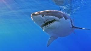 Ein Weißer Hai